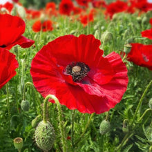 Load image into Gallery viewer, Organic Non-GMO Poppy Flanders