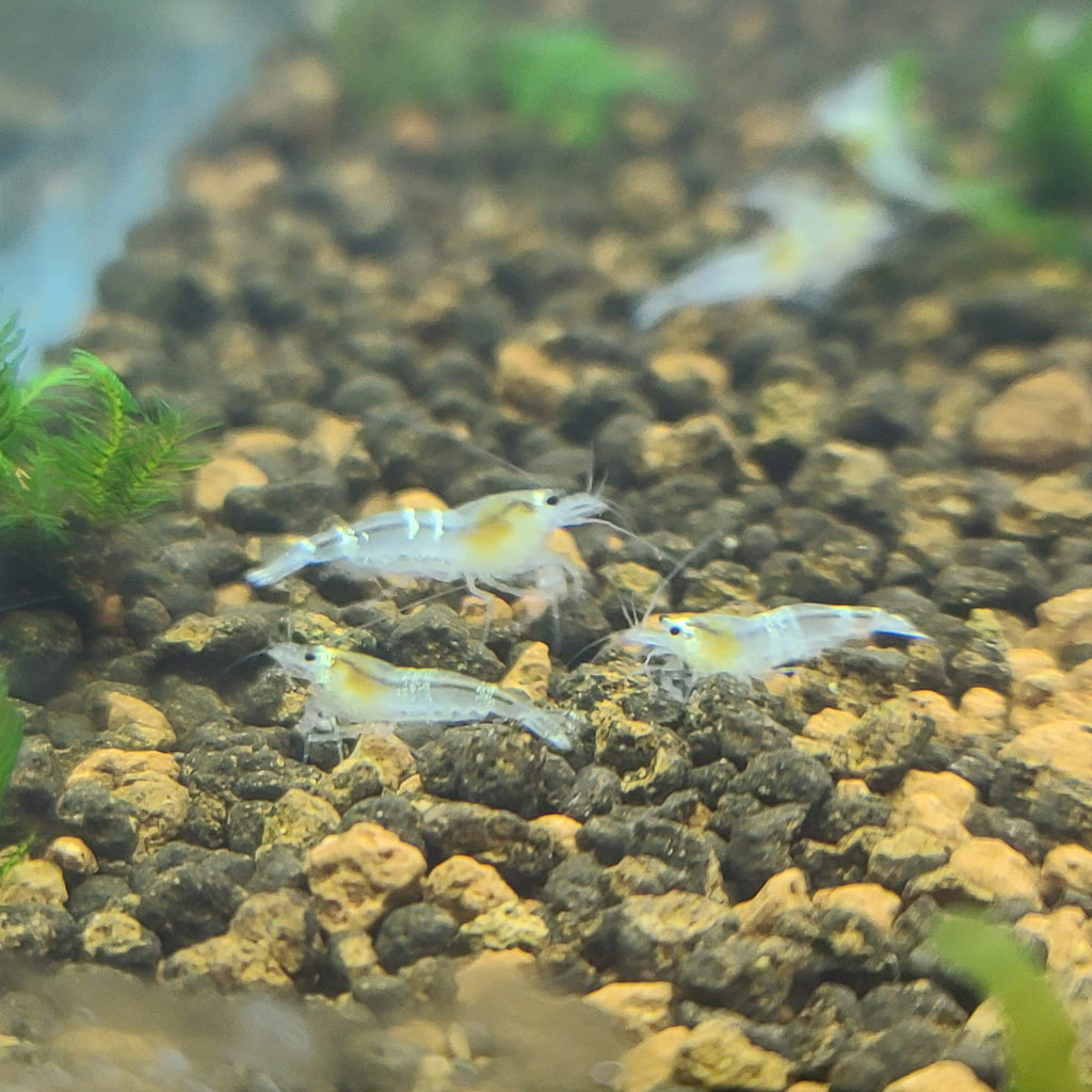 Crystal White Shrimp (Ghost Bee Shrimp)