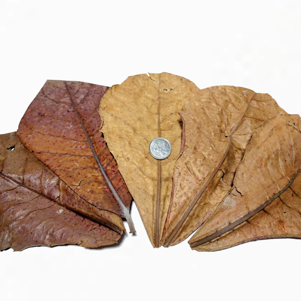 Dried Indian Almond Leaves (Catappa)