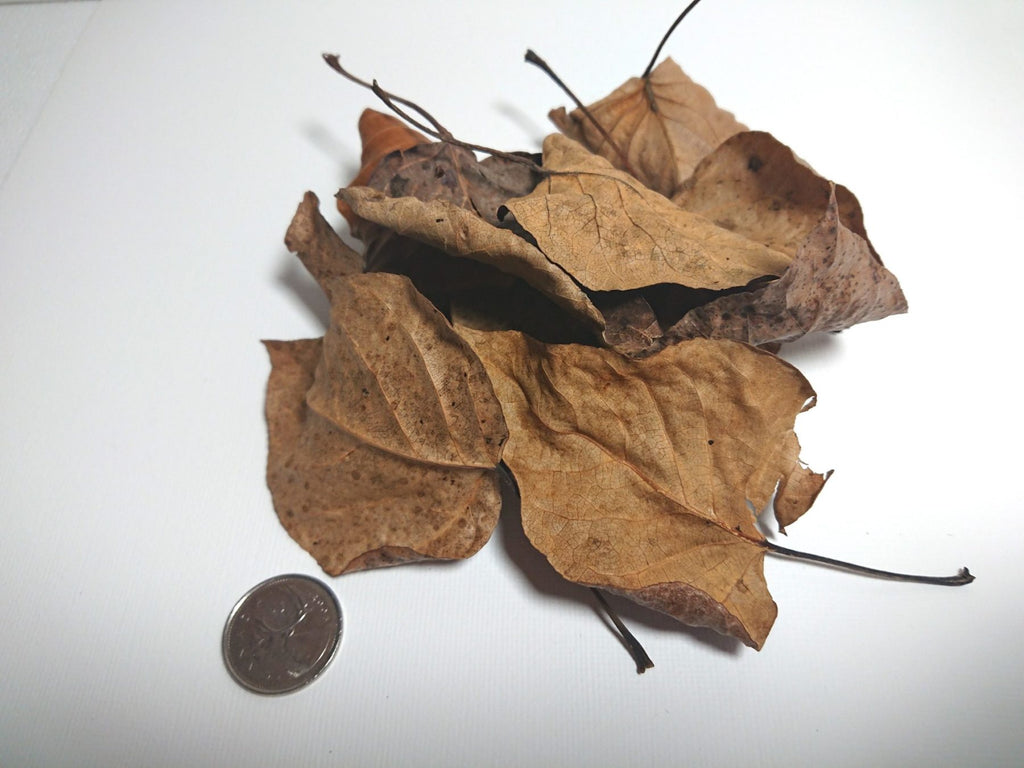 Dried Cottonwood Leaves