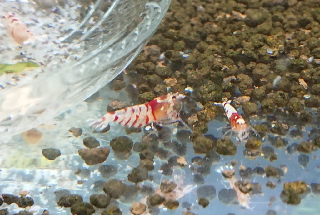 Fancy Red Tiger Shrimp