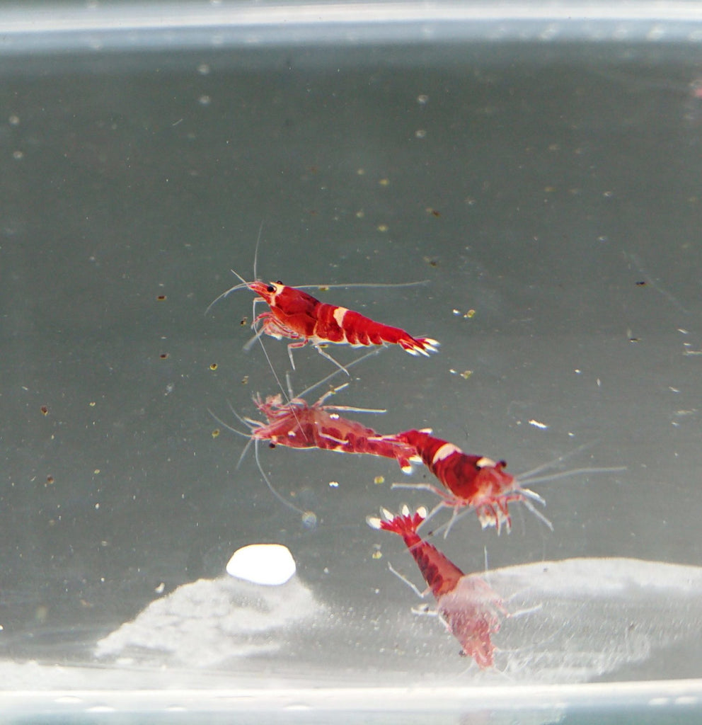 Red Wine Shrimp (Single Stripe)