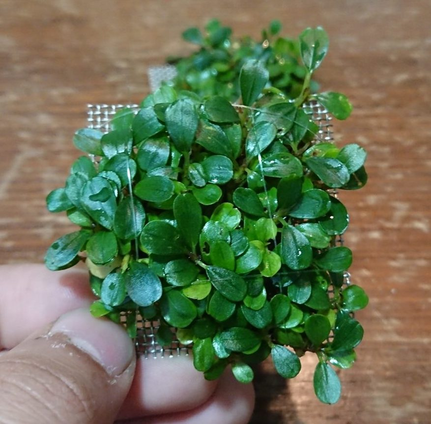 Bucephalandra Sp. Mini Coin