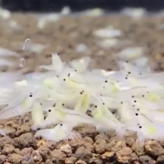 Snowball Shrimp