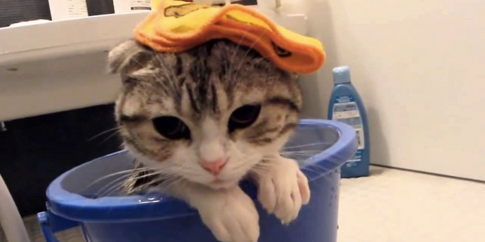 How to Give A Bath to Your Cat?