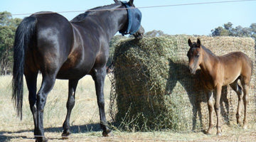 Springtime Caution! Feed your horse by weight, not biscuit!