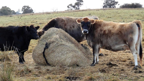 GutzBusta Hay Net - Cattle eating from a hay net