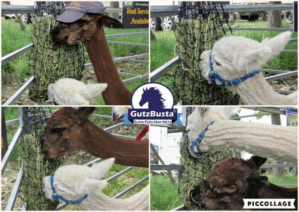 Alpaca's at the Murrumbateman Field Days a few years ago eating from a Small GutzBusta Hay Net.