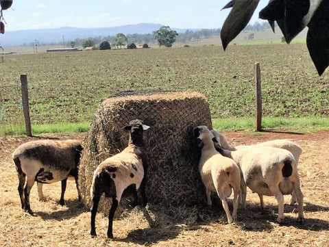 Sheep eating from a round bale GutzBusta hay net.