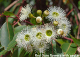 ACTIVE RED GUM HONEY