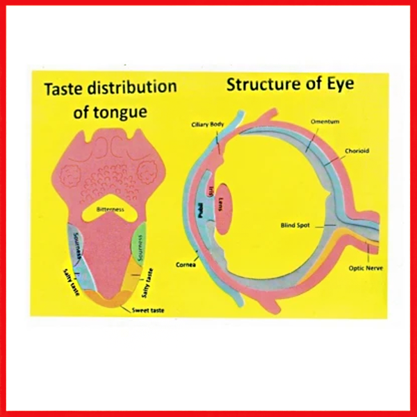 Structure Of Eye (Science Item) Foaming Sheet