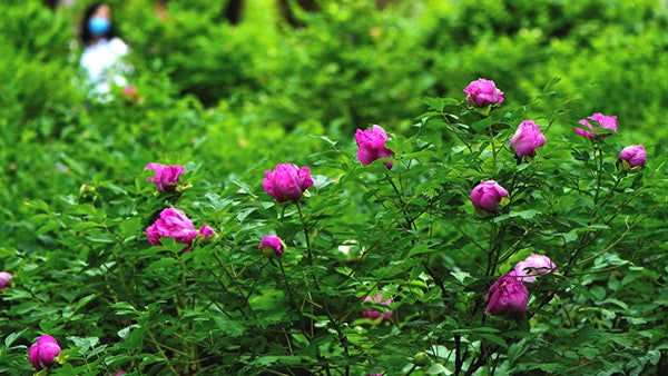 "Peonies in full bloom as ""spring city of the northern kingdom"""