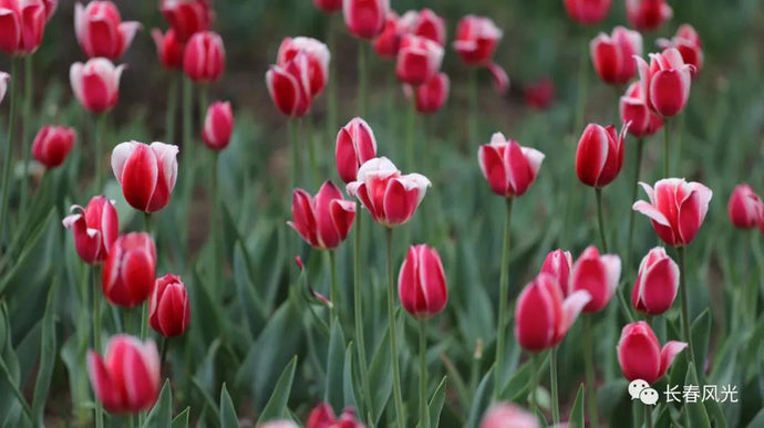 Tulips are blooming in Changchun park.
