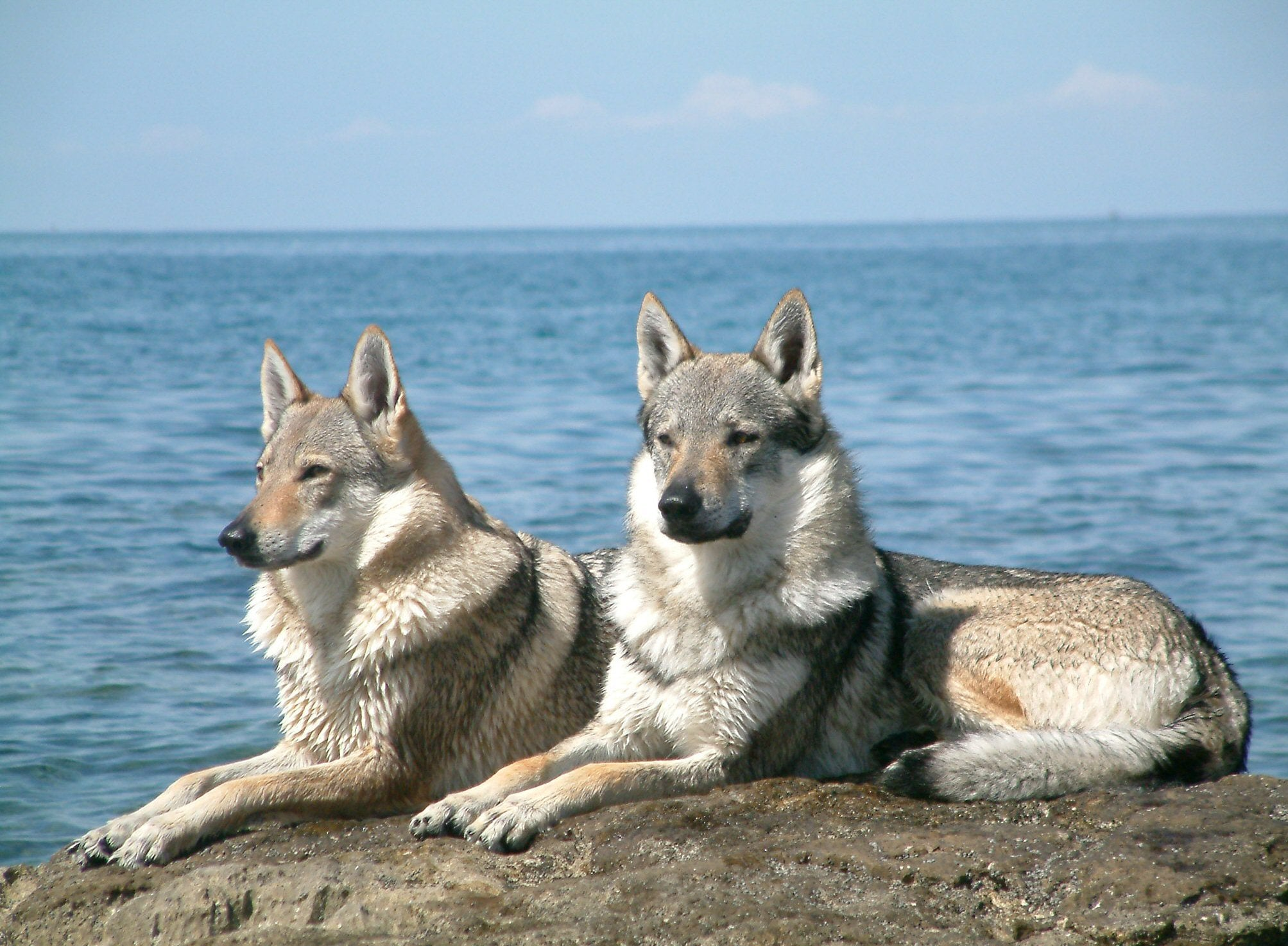 Chiens Loups