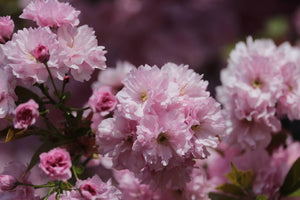 Flowering Cherry Blossom | Washington DC | Seed Grow Kit