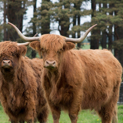 Best of Scotland Jewellery| Highland cows, Scottie Dogs, Thistles