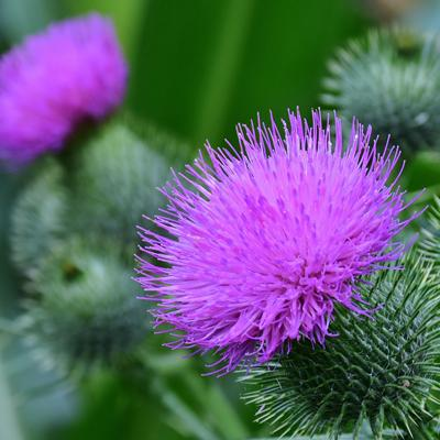 Scottish Thistle Jewellery |National Flower of Scotland Jewelry