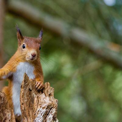 Scottish Wildlife Jewellery |Red Squirrel & Hedgehog jewellery