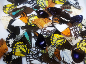 Real butterfly wings for jewelry, arts, crafts
