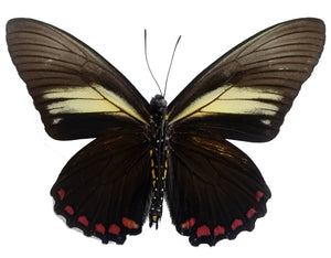 Battus crassus swallowtail butterfly for sale