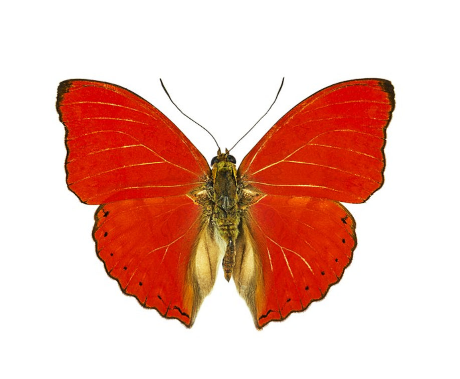 Cymothoe sangaris butterfly for sale