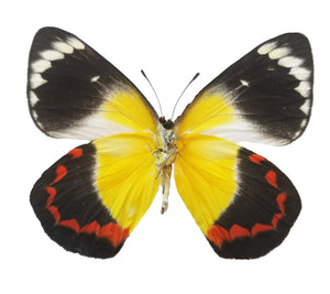 Delias timorenis dried butterfly for sale