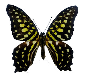 Graphium agamnon Butterfly for sale