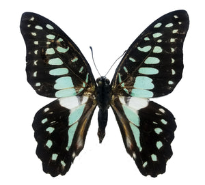 Graphium butterfly for sale