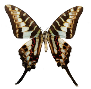 Graphium policenes real butterfly for sale