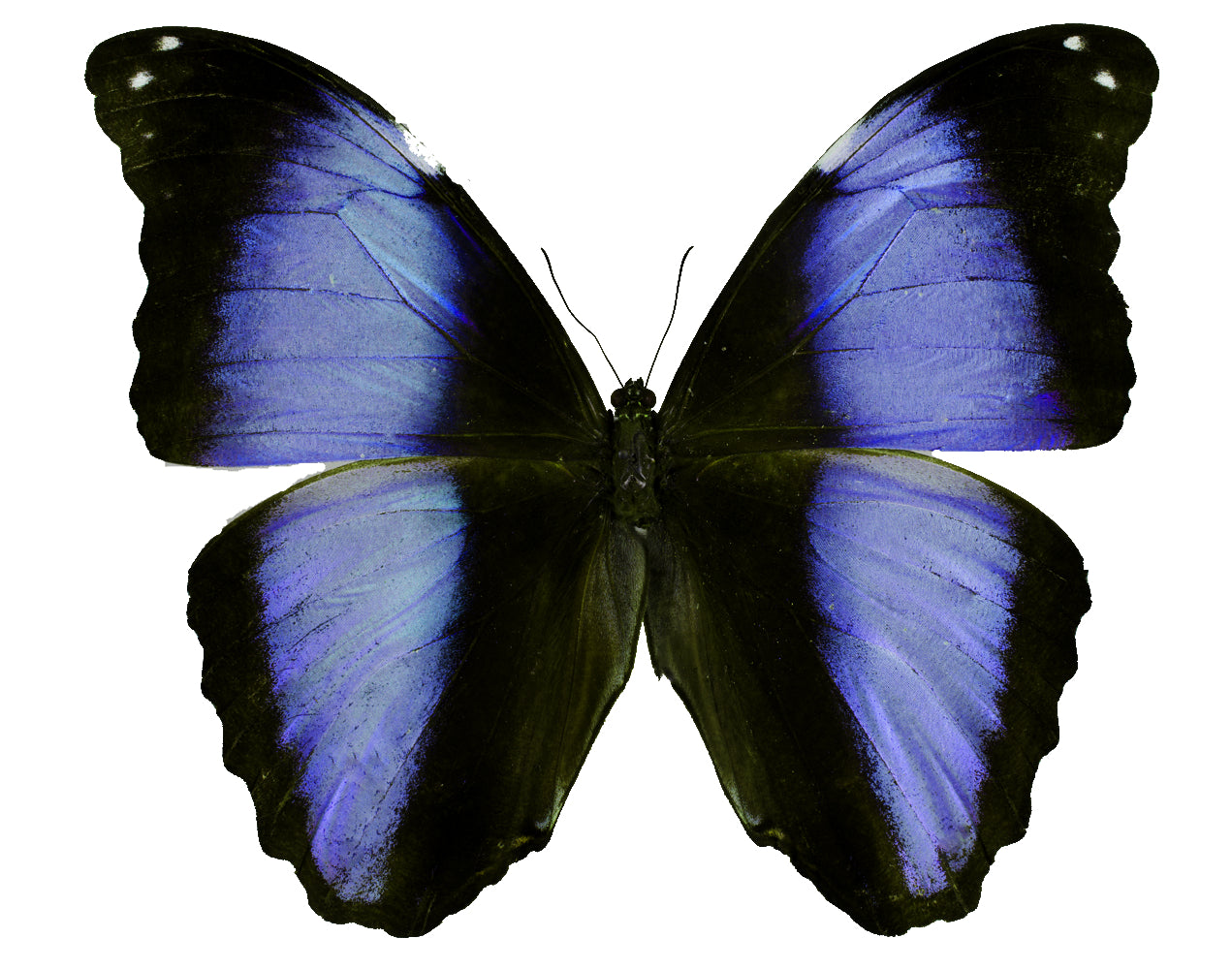 Morpho deidamia, blue morpho butterfly for sale