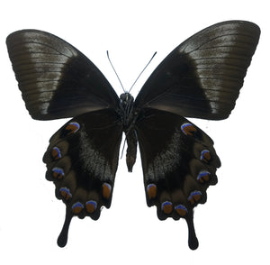 Papilio ulysses telegonus dried butterfly insect specimen for sale
