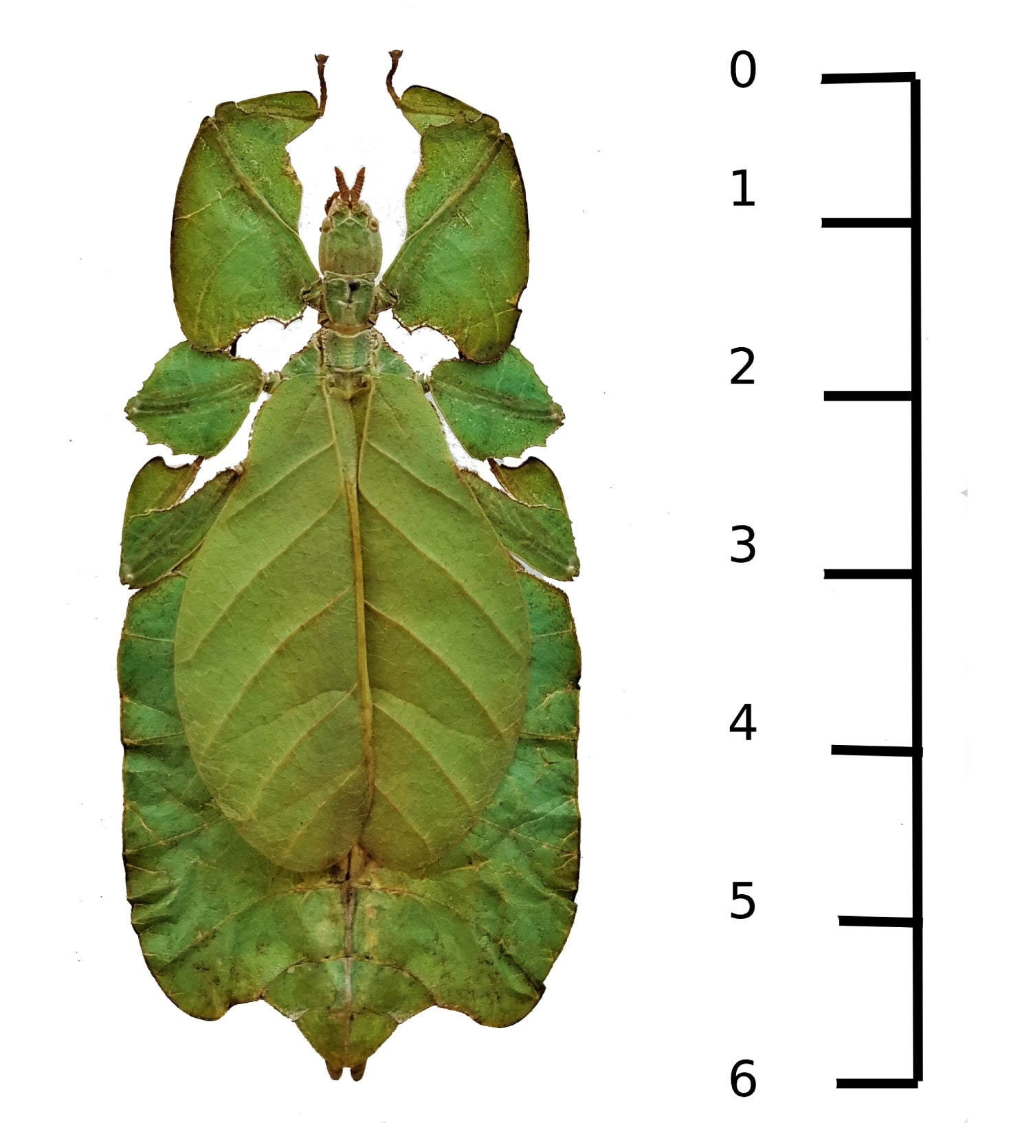 Phyllium giganteum leaf insect for sale