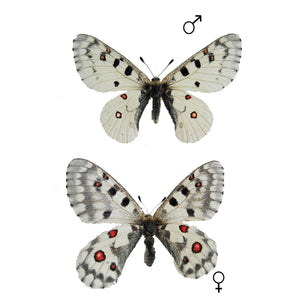 parnassius smintheus Butterfly for sale