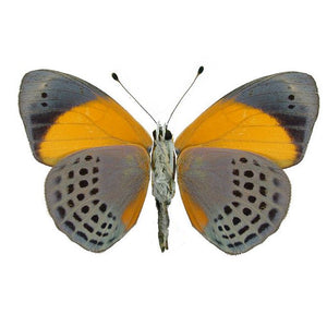 Asterope markii davisii, Dotted Glory Butterfly for sale