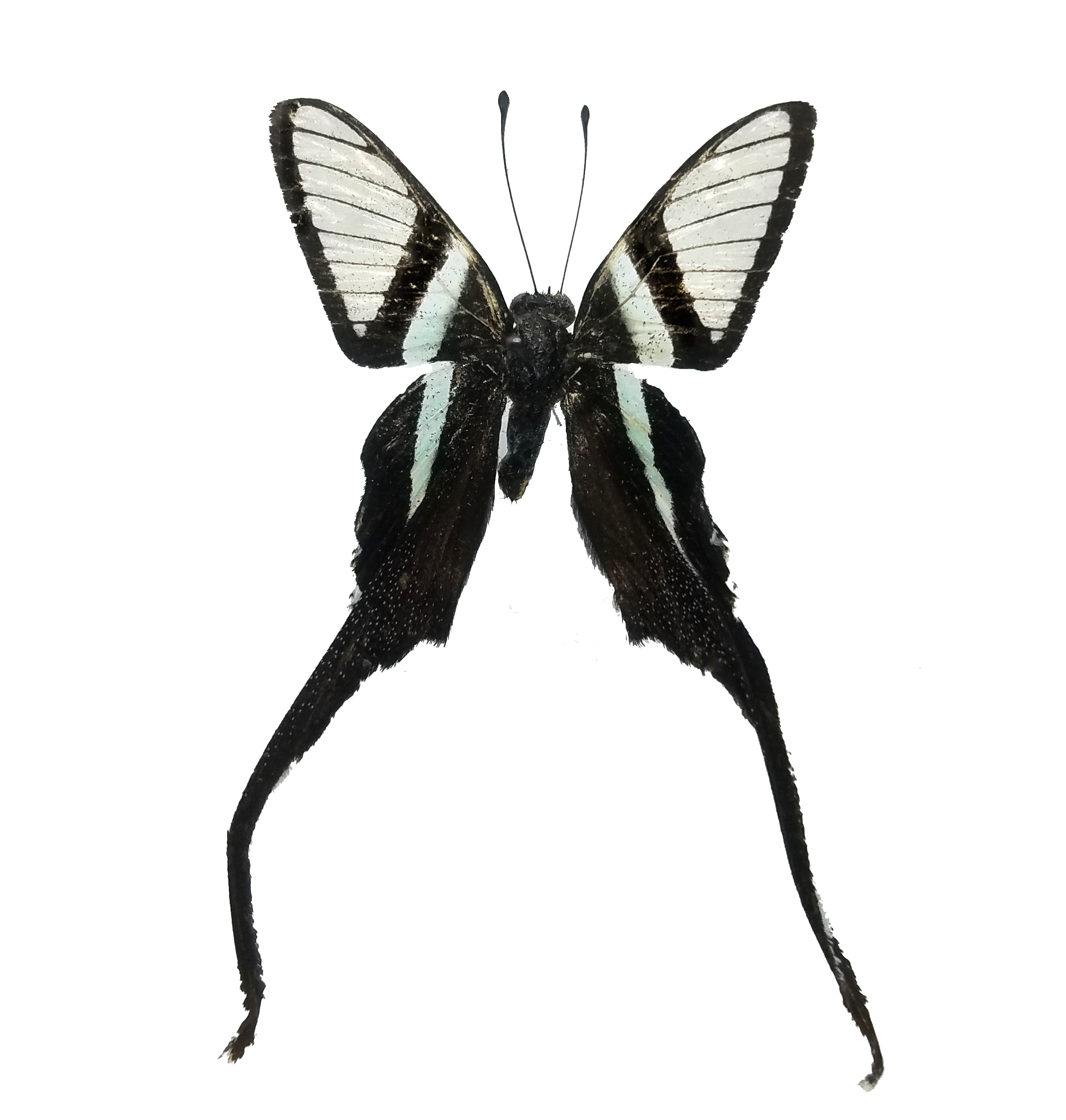 Lamproptera curius, White Dragontail Butterfly Specimen for sale