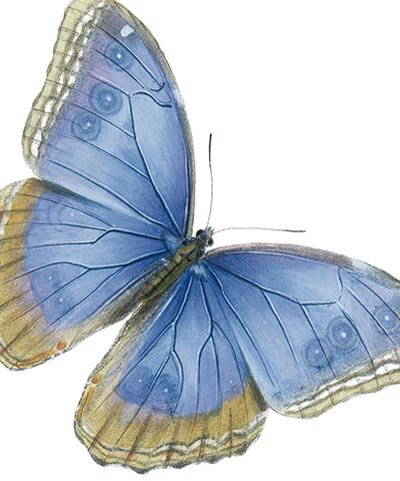 National History Museum - Blue Butterfly