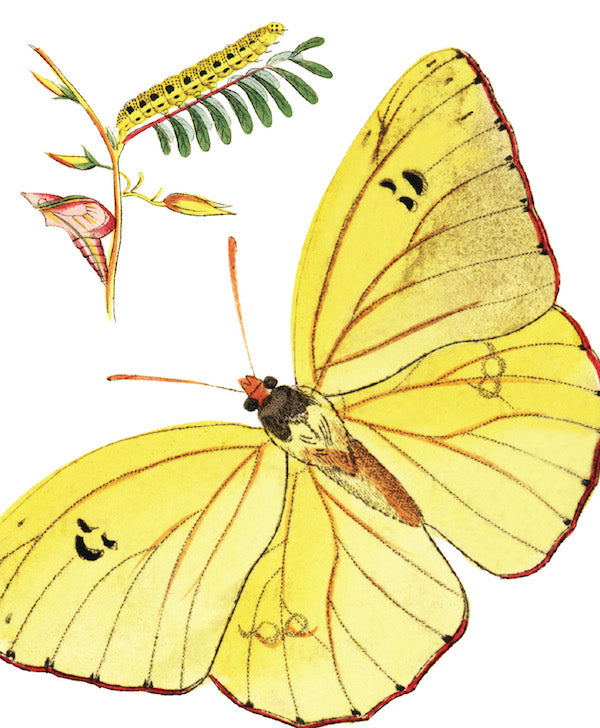 National History Museum - Cloudless Sulpher Butterfly