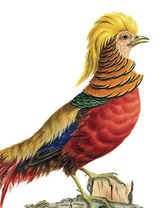 National History Museum - Golden Pheasant