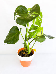 Monstera deliciosa - Hi Plantation plantas de interior