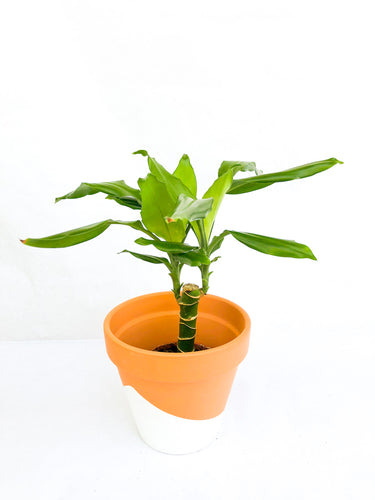 Dracena Fragrans - Hi Plantation