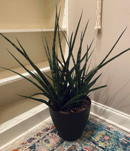 "Load image into Gallery viewer, Sansevieria (Fernwood) ""Snake Plant"" in Large 10"" Modern Bell Planter (Black)"