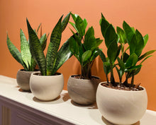 "Load image into Gallery viewer, Sansevieria (Zeylanica) ""Snake Plant"" in 5"" Luna Planter - White"
