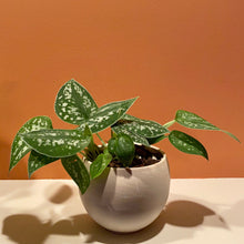 "Load image into Gallery viewer, Pothos (Silver Ann) in 5"" Luna Planter"