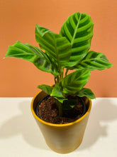 Load image into Gallery viewer, Calathea - Zebrina (Velvet) Plant in Hand Painted Ceramic Pot (Golden Honey)
