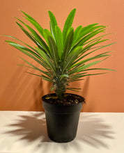 "Load image into Gallery viewer, Madagascar Palm ""Cactus"" in 4"" Nursery Pot"