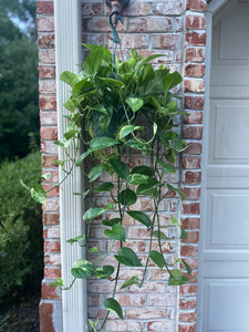 "Pothos (Marble) - Hanging Basket - Extremely Variegated with Extra long tendrils - in 8"" Pot"