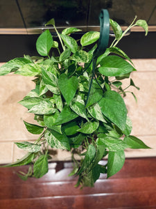 "Pothos (Marble Queen) - Hanging Basket - Variegated with long tendrils - in 8"" Pot"