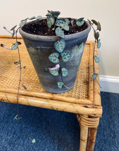 "String of Hearts (Ceropegia woodii) in 5.5"" Distressed Gray Pot"
