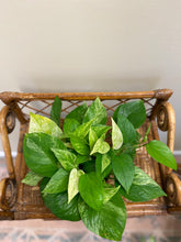 "Load image into Gallery viewer, Pothos (Marble Queen) - in 6"" Nursery Pot"