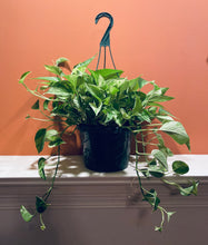 "Load image into Gallery viewer, Pothos (Marble Queen) - Hanging Basket - Variegated with long tendrils - in 8"" Pot"